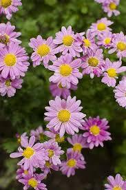 Chrysanthemum Fall Mum