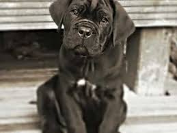 My Cane Corso Shedding A Lot by Cane Corso Dog Breed Information Buying Advice Photos And Facts