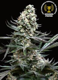 100 Nordes Nords Absolute Cannabis Seeds