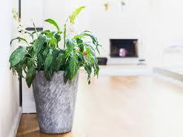 zimmerpflanzen sorgen für gesunde raumluft ndr de