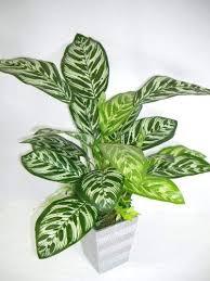 55 cm getopfte künstliche seide calathea makoyana pflanze