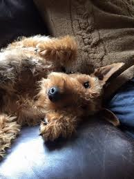 Airedale Terrier Non Shedding by 152 Best Airedale Terriers Images On Pinterest Airedale Terrier