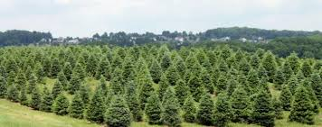 Plantable Christmas Trees Columbus Ohio by The Farms At Pine Tree Barn Pine Tree Barn