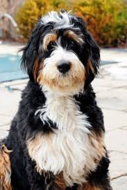 Do F1 Sheepadoodles Shed by 73 Best Bernedoodle Images On Pinterest Animals Doodle Dog And