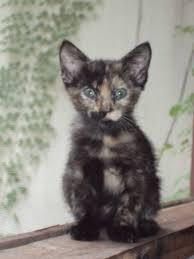 shorthair cat price calico kitten for