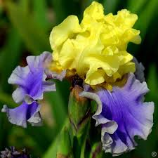 buy iris plants cheap direct from many varieties to choose