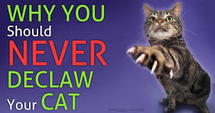 cost to declaw cat declawing the routine procedure that owners still request