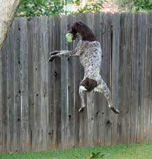 German Shorthaired Pointer Shed Hunter by 7 Ways German Shorthaired Pointers Make Life More Interesting