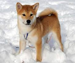do shiba inus shed hair follow the piper shiba inus