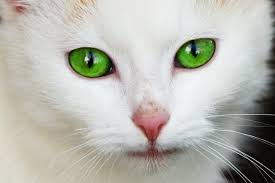 cat runny nose cat eye infection recognize the signs canna pet