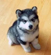 12 best small dog breeds that dont shed images on pinterest dog