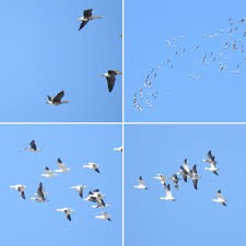 Wind And Light Made It Hard For My Super Zoom To Get Any Really Good Flight Pictures Greater White Fronted Geese In The Upper Left Then Various Snow