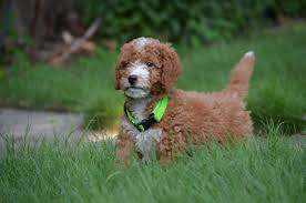 Do F1 Aussiedoodles Shed by Bestgoldendoodles Com Goldendoodle And Mini Goldendoodle Puppy