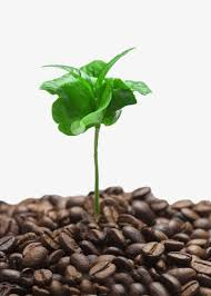 Coffee Tree Buds Picture Material Clipart Leaves PNG Image And