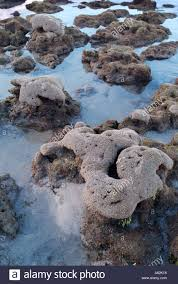 wormrock reef exposed at low tide off bathtub beach martin county
