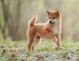 Do Shibas Shed A Lot by What Is A Husky Inu Shiba Inu Husky Mix My First Shiba Inu