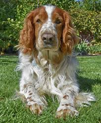 Field Springer Spaniel Shedding by An Exhaustive List Of Spaniel Breeds With Pictures