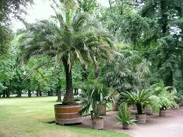 Small Palm Trees Guide: Types That Grow 4 - 20 Feet Tall   INSTALL ... Best Shade Trees For Oregon Clanagnew Decoration Garden Design With How Do I Choose The Top 10 Faest Growing Gardens Landscaping And Yards Of For Any Backyard Small Trees Plants To Grow Grass In Howtos Diy Shop At Lowescom The Home Depot Of Ideas On Pinterest Fast 12 Great Patio Hgtv Solutions Sails Perth Lawrahetcom A Good Option Providing You Can Plant Eucalyptus Tree