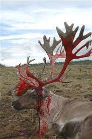 deer moosen caribou shed velvet off of their antlers when they are