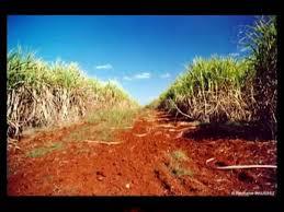 Sugarcane Fields Cuba