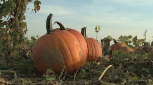 Pumpkin Patch In Orlando Fl by Trip To Pumpkin Patch Leaves Woman With Painful Infection From