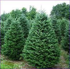 Fraser Christmas Tree Care by Fraser Fir Christmas Trees Care Home Design Ideas