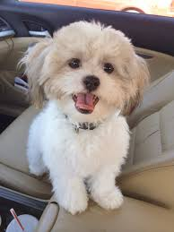 Dogs That Dont Shed Or Stink by 11 Mixed Breed Dogs That Will Melt Your Heart Maltese Dog And