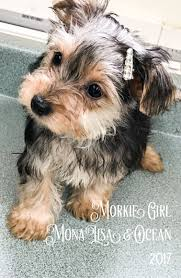 Morkies Do They Shed by Www Ohpuppylove Com Dog Breeds Morkie Shorkie Maltipoo Poodle