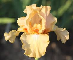 411 best Iris images on Pinterest