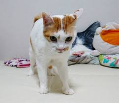 bobtail cat japanese bobtail cat breed information pictures characteristics