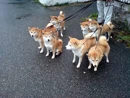 133 best shiba inu images on puppies shiba inu
