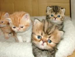 shorthair cat price best 25 cats for ideas on baby cats for
