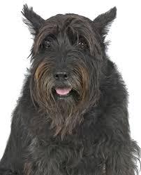 Do Giant Schnauzers Shed by Giant Schnauzer Dog Breed Information Noah U0027s Dogs
