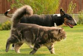 Do Maine Coons Shed In The Summer by Facts About The Maine Coon Cat Cat Breeds And Types Of Cats