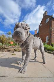 Do Mini Shar Peis Shed by Best 25 Shar Pei Ideas On Pinterest Shar Pei Puppies Chinese