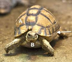Turtle Shell Not Shedding by Understanding The Chelonian Shell Lafebervet