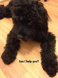 Do Cavapoos Shed A Lot by For My Kute Kid Cavapoo Black Dog Kute Kids Pinterest