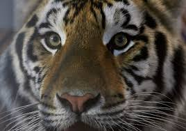 Animal Rights Group Sues Louisiana Over 'Tiger Truck Stop' Law 45 Tiger Truck Stop Trucker Jims Truckin Journey Youtube The Is Here To Stay Vice Kept At Iberville Parish Truck Stop Dies Tony The Update Owner Plans Pursue Another Tiger Stuff For Free Jobyronkuhnercom Kept At For 17 Years Dies But Legal Battle Isn September 28 2015 2 Louisiana Cdllife Abandoned Sign Along I2 Flickr