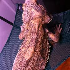 light patches on beardie not shedding patches bearded dragon