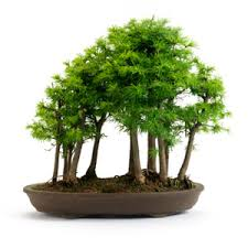 products archive all things bonsai