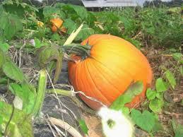 Pumpkin Patch Denver by Denver Downs Farm In Anderson Sc Pumpkin Patch Corn Maze