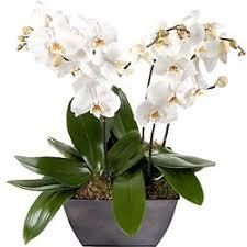 livraison de magnifiques orchidées à domicile aquarelle