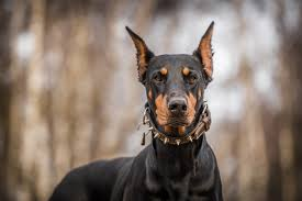 Do Miniature Doberman Pinschers Shed by Doberman Pinscher Dog Information Fun Facts And Faq U0027s 2017 Edition