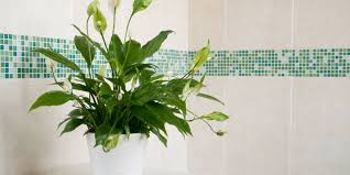 Best Plant For Bathroom by Bathroom Spider Plant For Bathroom Best Bathroom Plants 2017 8