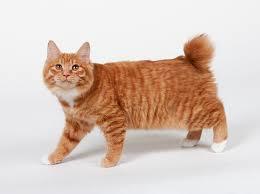 bobtail cat kurilian bobtail purrfect cat breeds