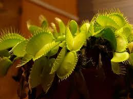 venus flytrap aqua terra carnivora