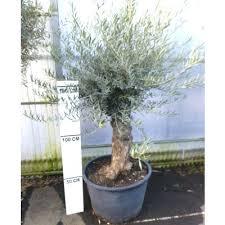 un olivier en pot