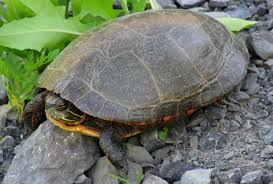 the painted turtle as a pet turtleholic