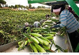 Uesugi Farms Pumpkin Patch by Corn Maze California Stock Photos U0026 Corn Maze California Stock