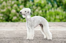 16 dog breeds that don t shed mnn mother nature network